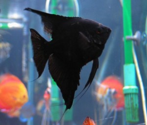 black veil angelfish
