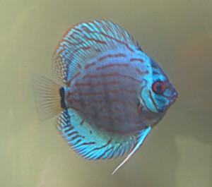 blue turquoise discus