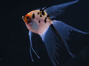 koi veil angel fish