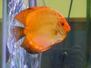 large pigeon blood discus
