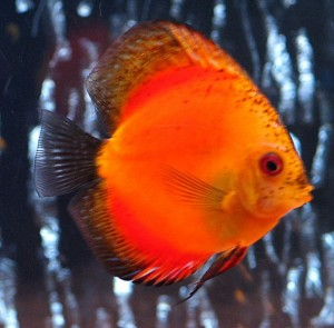 sunset orange discus